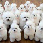 癒されたらRT!なんだこれ?白いもふもふ犬画像・動画まとめ